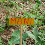 Erdnusspflanze auf dem Bauernhof in der Dominikanischen Republik
