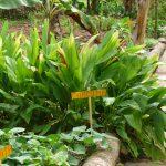 Curcumapflanze auf dem Bauernhof in der dominikanischen Republik
