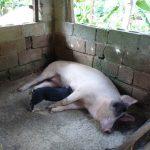 Schweine auf dem Bauernhof in der dominikanischen Republik