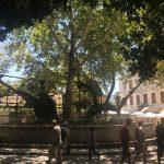 Platane des Hippokrates in Kos Stadt