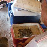 Babyschildkröten in der Schildkrötenauffangstation auf der Insel Saona im karibischen Meer